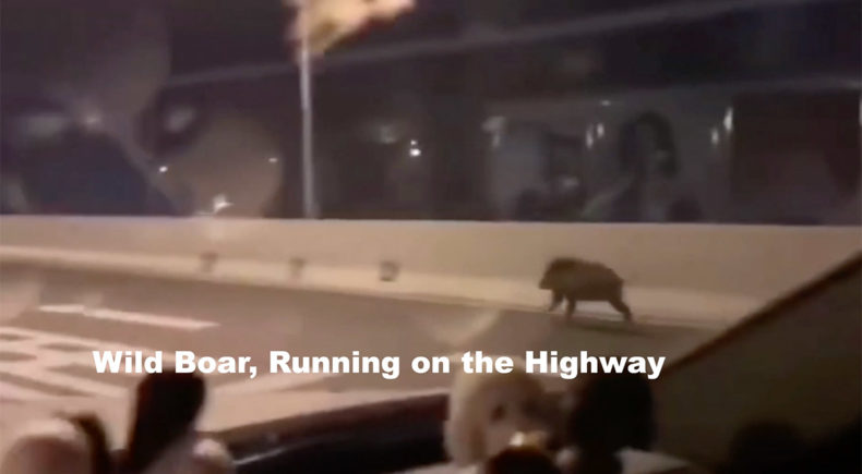 Wild Boar, Running on the Highway